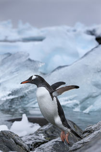 Leaping Gentoo Penguin, Cuverville Island, Antarctica by Danita Delimont