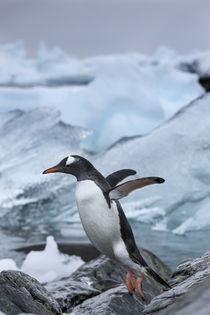 Leaping Gentoo Penguin, Cuverville Island, Antarctica von Danita Delimont