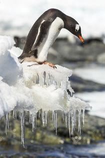 Gentoo Penguin, Cuverville Island, Antarctica by Danita Delimont