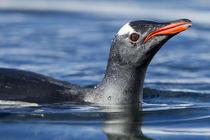 Gentoo Penguin, Antarctica by Danita Delimont