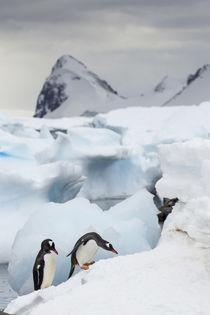 Gentoo Penguins, Cuverville Island, Antarctica von Danita Delimont