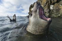 Elephant Seal, Livingstone Island, Antarctica von Danita Delimont