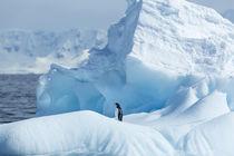 Gentoo Penguin on Iceberg, Antarctica by Danita Delimont