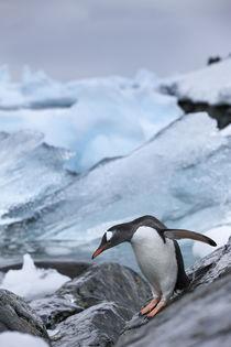 Antarctica, Gentoo Penguins . by Danita Delimont
