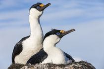 Blue-eyed Shags, Petermann Island, Antarctica by Danita Delimont