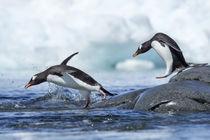 Gentoo Penguins, Petermann Island, Antarctica by Danita Delimont