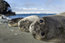 Elephant Seal Pups, Antarctica von Danita Delimont