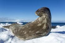 Weddell Seal, Deception Island, Antarctica by Danita Delimont