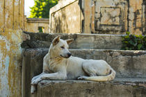 Mandalay. Mingun. Local dog rests in the shade. by Danita Delimont