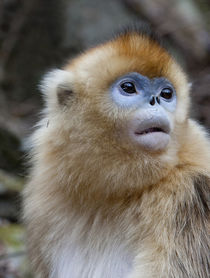 Qinling Mountains, Female golden monkey von Danita Delimont