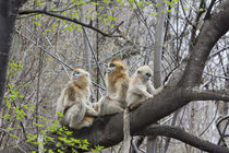 Qinling Mountains, Golden Monkey group in tree by Danita Delimont