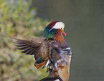Beijing China, Male Mandarin Duck flapping wings by Danita Delimont