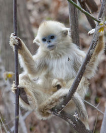 Qinling, China, Golden monkey youngster in tree by Danita Delimont