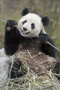 Wolong Reserve, China, Giant panda eating bamboo by Danita Delimont