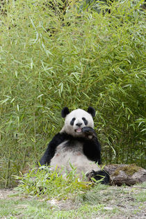 Wolong Reserve, China, Giant panda eating bamboo von Danita Delimont