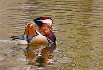 Beijing, China, Male mandarin duck swimming in pond by Danita Delimont