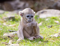 Qinling Mountains, China, Baby Golden Monkey portrait von Danita Delimont