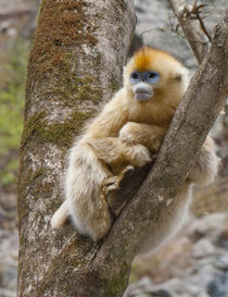 Qinling Mountains, China, female Golden monkey in tree by Danita Delimont