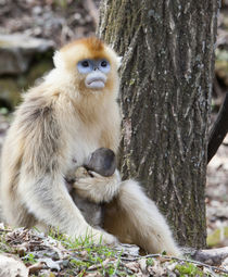 Qinling Mountains, China, Female Golden Monkey with newborn von Danita Delimont