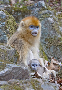 Qinling Mountains, China, Female Golden monkey with infant von Danita Delimont