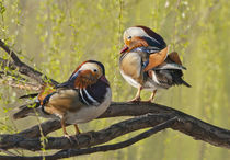 Beijing, China, Two Male Mandarin duck in a tree in the spring by Danita Delimont