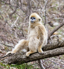 Qinling Mountains, China, Young Golden monkey sitting in tree by Danita Delimont