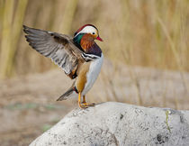 Beijing, China, Male Mandarin Duck flapping and drying wings... von Danita Delimont