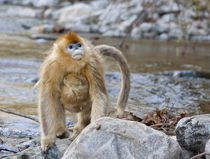 Qinling Mountains, China, Female Golden monkey carrying youn... by Danita Delimont