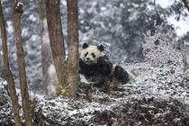 China, Chengdu Panda Base by Danita Delimont