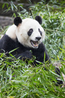 Giant Panda, Chengdu, Sichuan Province, China by Danita Delimont