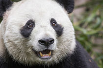 Giant Panda, Chengdu, China by Danita Delimont