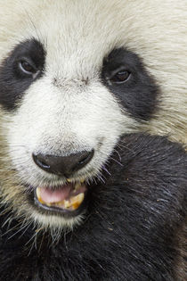 Giant Panda Feeding on Bamboo, Chengdu, Sichuan Province, China by Danita Delimont