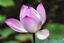Pink Lotus Close Up Beijing China by Danita Delimont