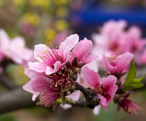 Pink Peach Blossom Macro Sichuan China by Danita Delimont