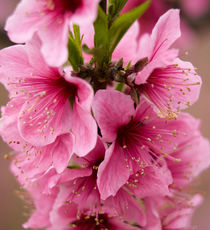 Pink Peach Blossoms Close Up Sichuan China von Danita Delimont