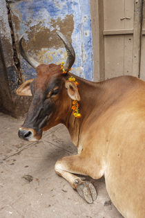Cow with flowers, Varanasi, India von Danita Delimont
