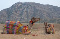 Brightly decorated camel, Pushkar, Rajasthan, India. von Danita Delimont