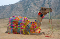 Brightly decorated camel, Pushkar, Rajasthan, India. by Danita Delimont