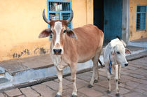 Cow and calf on the street, Jojawar, Rajasthan, India. von Danita Delimont