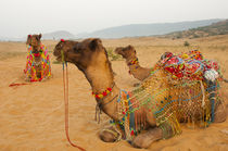 Decorated camels, Pushkar, Rajasthan, India. von Danita Delimont