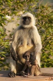 Langur Monkey, Amber Fort, Jaipur, Rajasthan, India. von Danita Delimont