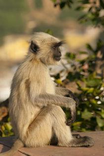 Langur Monkey, Amber Fort, Jaipur, Rajasthan, India. by Danita Delimont