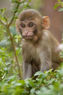 Rhesus monkey baby, Monkey Temple, Jaipur, Rajasthan, India. by Danita Delimont