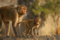 Rhesus Monkey mother and baby, Monkey Temple, Jaipur, Rajast... by Danita Delimont