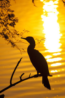 Silhouette of an Indian cormorant, Keoladeo National Park, B... by Danita Delimont