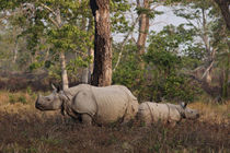 One-horned Rhinoceros and young feeding, Kaziranga National ... von Danita Delimont