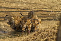 Tiger cubs at the waterhole, Tadoba Andheri Tiger Reserve, India. von Danita Delimont