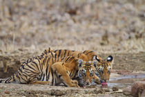 Royal Bengal Tiger cubs at the waterhole, Tadoba Andheri Tig... by Danita Delimont