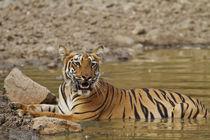 Tadoba Andheri Tiger Reserve, India. by Danita Delimont