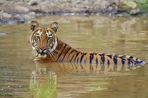 Royal Bengal Tiger at the waterhole, Tadoba Andheri Tiger Reserve. von Danita Delimont